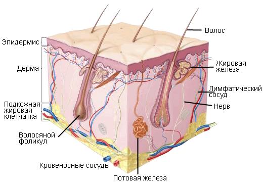 Строение кожи человека