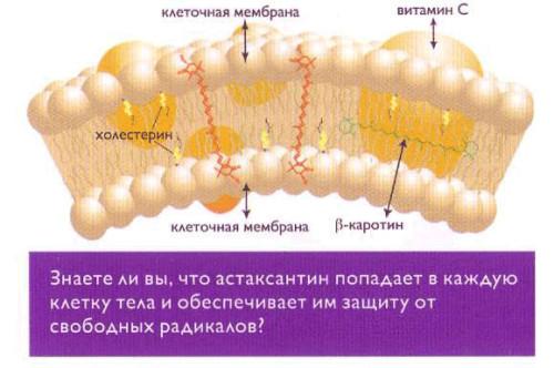 Астаксантин защищает от старения на клеточном уровне